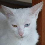Un chat Grec